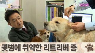 리트리버 종의 특성상 귓병에 취약한 '가온이' [잘살아보시개 시즌2] 46회